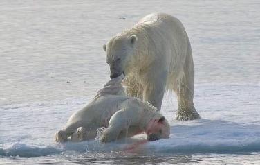 Gấu Bắc cực bắt buộc phải ăn thịt đồng loại do không tìm được thức ăn vì biến đổi khí hậu