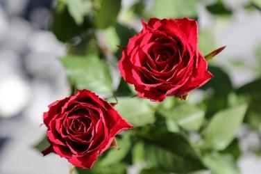 Hoa hồng nở muộn