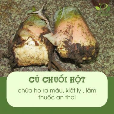 Bài thuốc quý từ cây chuối hột