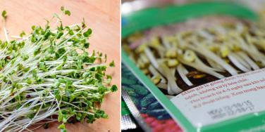 Nguy cơ ngộ độc từ hạt giống rau mầm